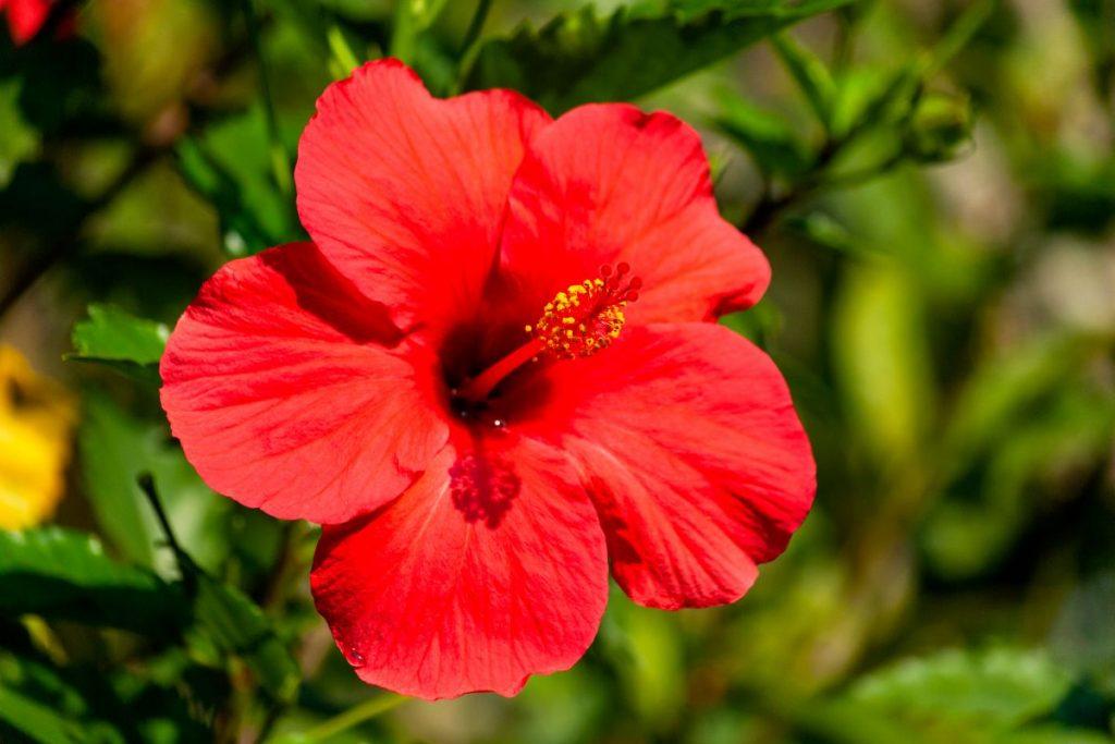 Planta vermelha hibisco