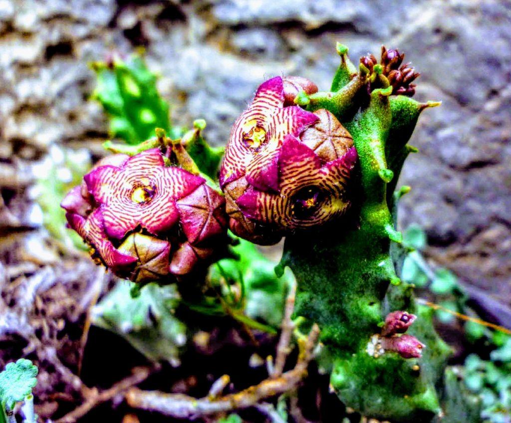 Planta suculenta Caralluma Fimbriata