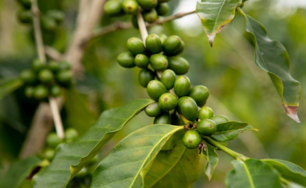 Fruta do café verde na árvore