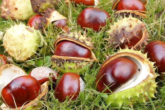 Frutos da árvore castanha da índia