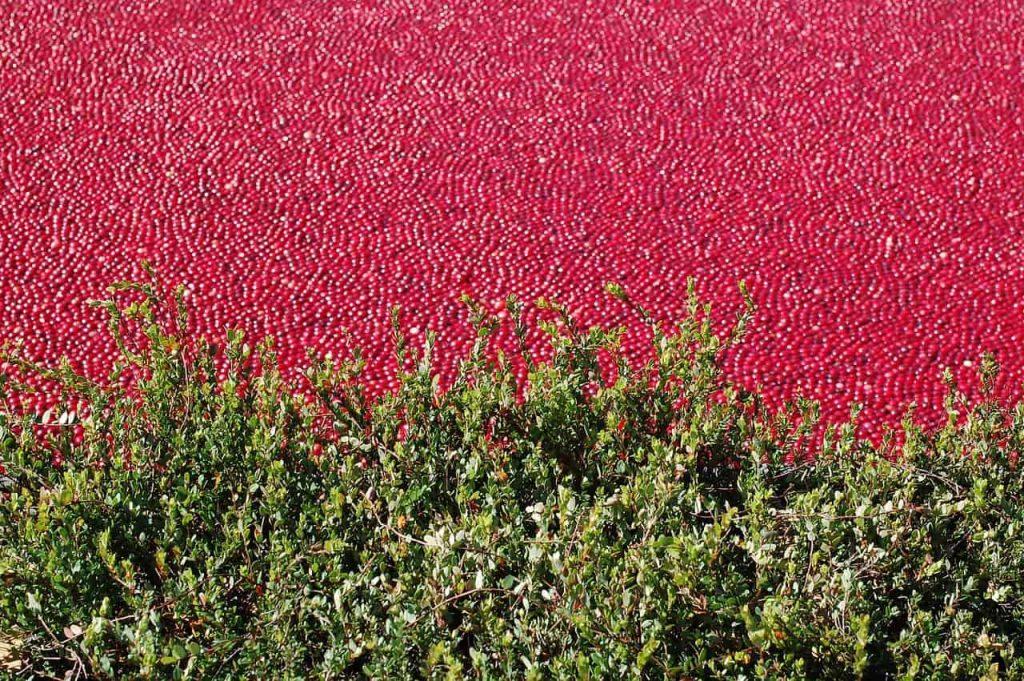 colheita de Cranberry, formando uma vasta extensão de frutas colhidas.