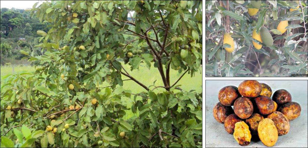 Arvore carregada de frutos Uxi Amarelo e ao lado fotos da fruta Uxi Amarelo.