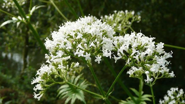 Valeriana com a variação de flores brancas.